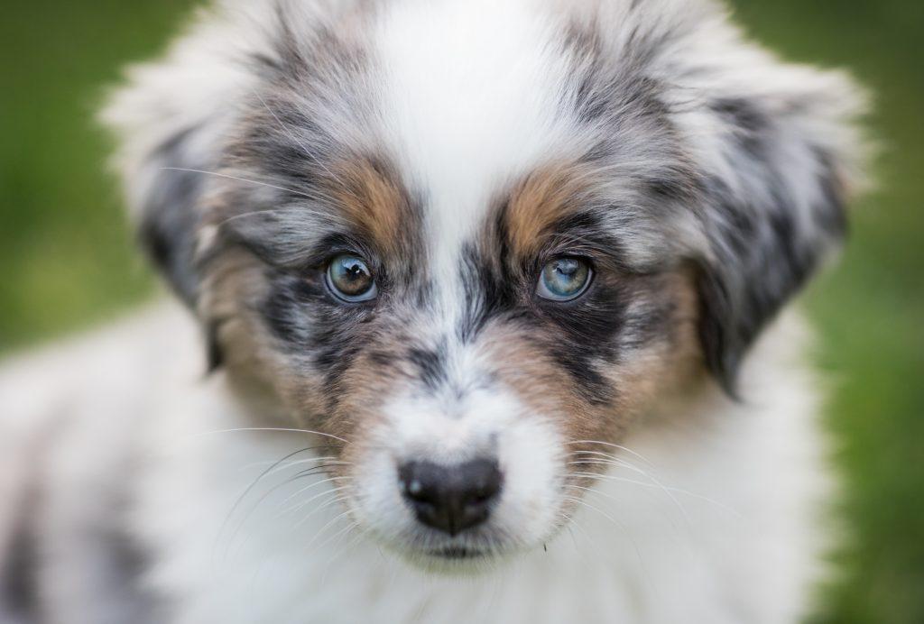 Australian Shepherd Welpe Alou 9 Wochen alt, blaue Augen