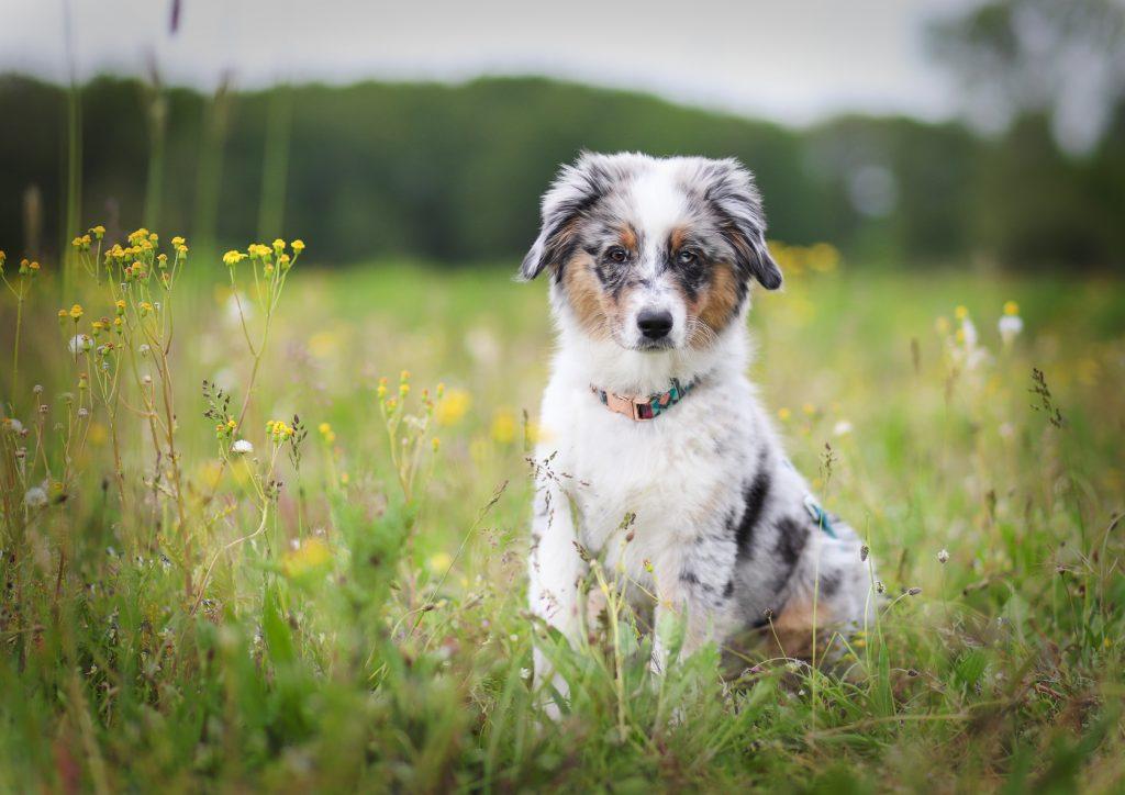 Australian Shepherd Welpe Alou 15 Wochen alt in einer Blumenwiese
