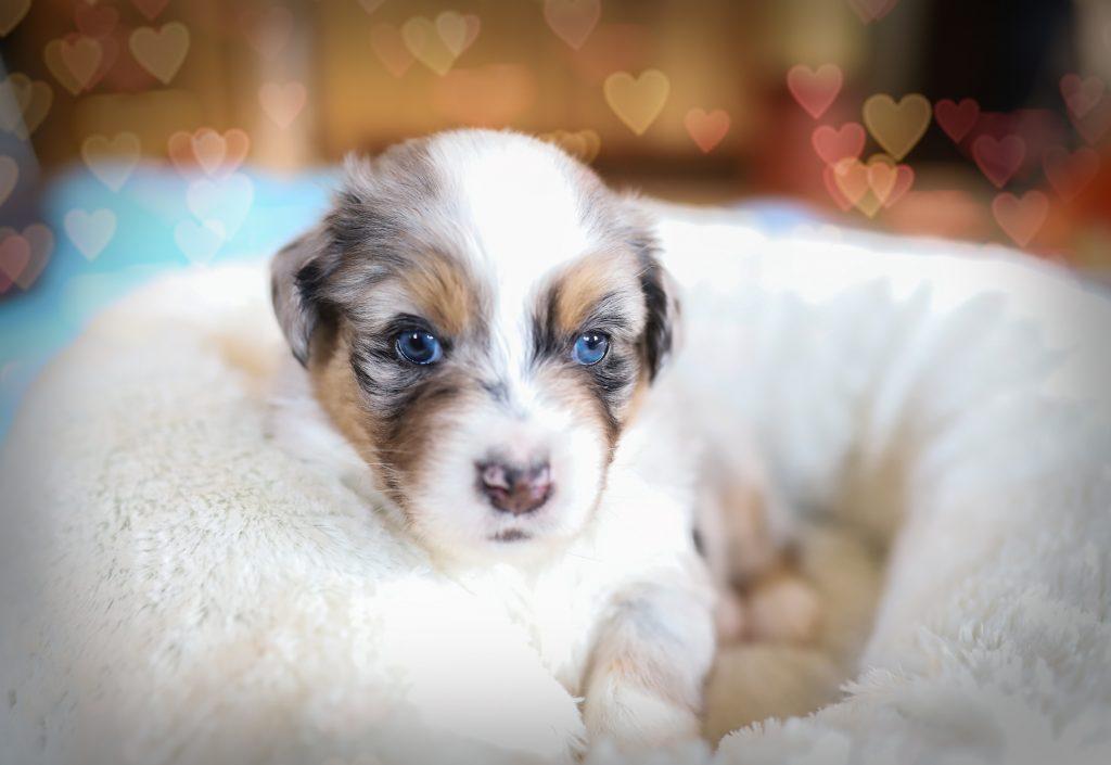 Australian Shepherd Welpe Alou mit 4 Wochen