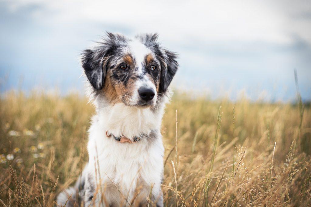 Australian Shepherd Junghund sitzt auf einer Wiese