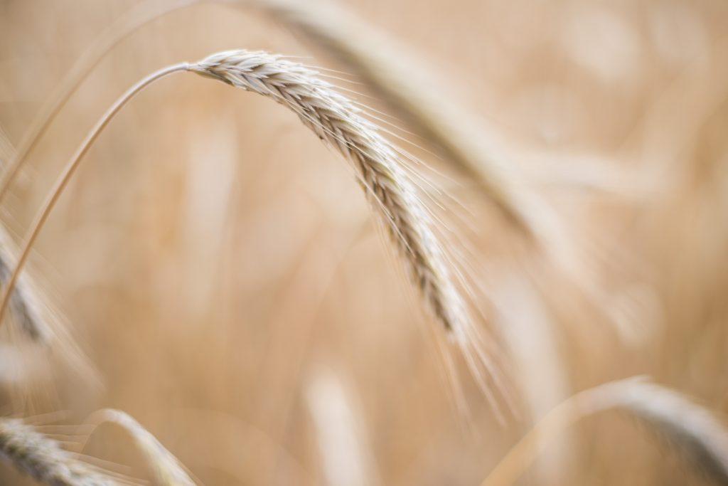 Getreide (Roggen) mit Grannen