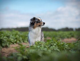 Hund auf einem Feld