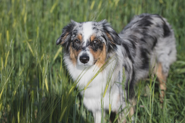 Hund auf Feld