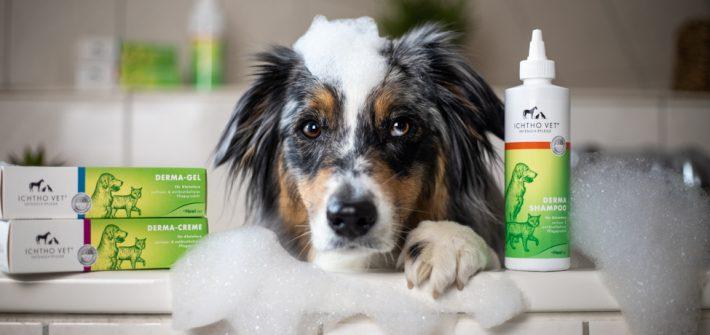 Australian Shepherd in der Badewanne mit Schaum